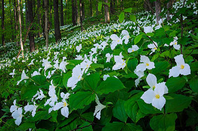 Photograph - Vast Trillium by Thomas Pettengill