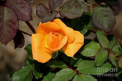 Photograph - Vavoom Rose by Living Color Photography Lorraine Lynch