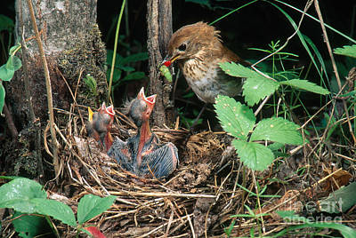 Hungry Chicks Photograph - Veery At Nest by Anthony Mercieca