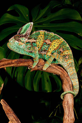 Lizard Photograph - Veiled Chameleon, Chamaeleo by David Northcott