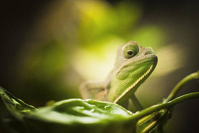 Veiled Chameleon Is Watching You Art Print