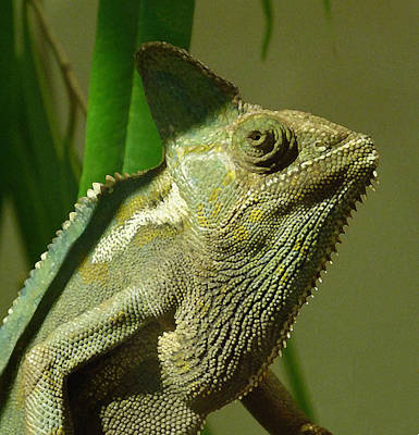 Photograph - Veiled Chameleon by Margaret Saheed