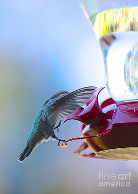 Hummingbirds Photograph - Veiled Hummingbird by Carol Groenen