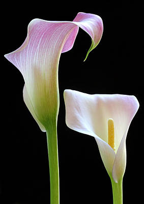 Lilies Royalty-Free and Rights-Managed Images - Veils of Bloom by Juergen Roth