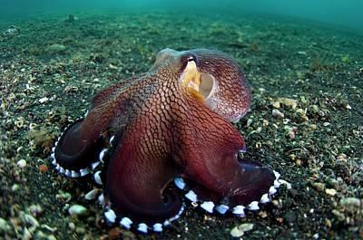 Veined Octopus Hunting Art Print