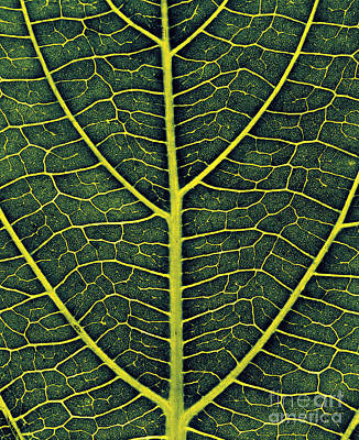 Designs In Nature Photograph - Veins Of A Leaf by Hermann Eisenbeiss