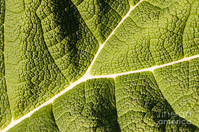 Veins Of A Leaf Art Print