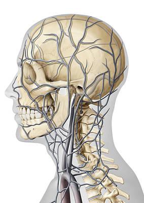 Photograph - Veins Of The Head, Illustration by QA International