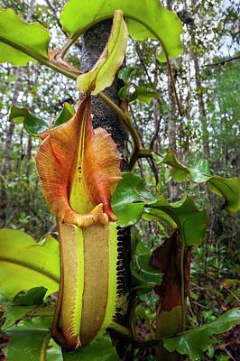 Epiphytic Photograph - Veitch's Pitcher Plant by Alex Hyde