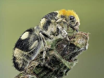 Wasp Photograph - Velvet Ant by Nicolas Reusens