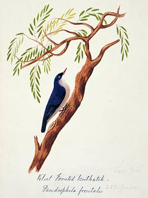 Nuthatch Wall Art - Photograph - Velvet-fronted Nuthatch by Natural History Museum, London/science Photo Library