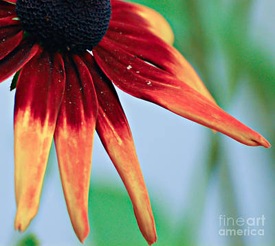 Photograph - Velvet Petals by Kerri Farley