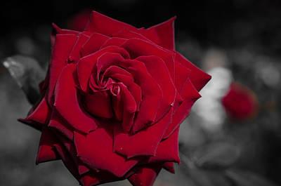 Velvet Rose 2 Art Print
