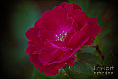 Photograph - Velvet Rose by Elizabeth Winter
