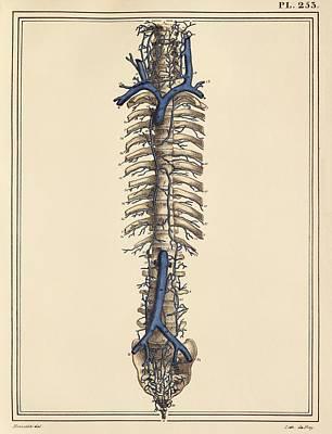Vena Cavae Veins, 1825 Artwork Print by Science Photo Library