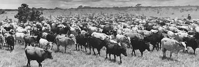 Cattle Drive Photograph - Venezuela Cattle Round-up  by Retro Images Archive
