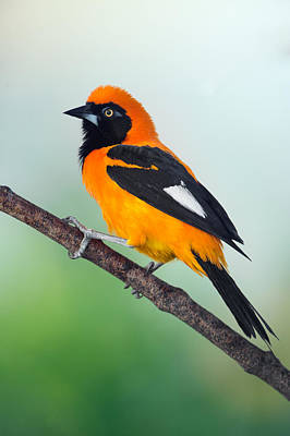 Venezuelan Troupial Icterus Icterus Art Print by Panoramic Images