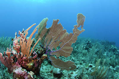 Gorgonian Photograph - Venus Sea Fan (gorgonia Flabellum by Pete Oxford