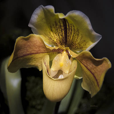 Photograph - Venus Slipper Orchid by Julie Palencia