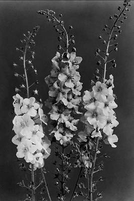 Black And White Photograph - Verbascum Phoeniceum Flowers by J. Horace McFarland
