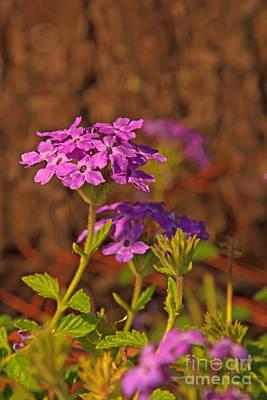Photograph - Verbena Flowers II by Gene Berkenbile
