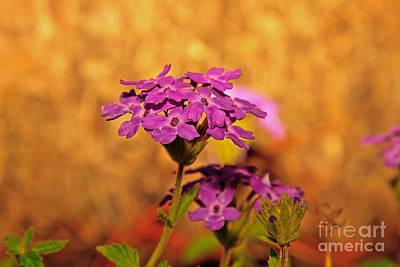 Photograph - Verbena Flowers IIi by Gene Berkenbile