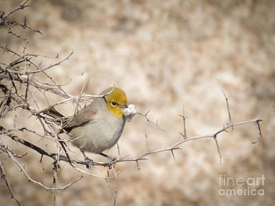 Photograph - Verdin Gathering Nest Material by Marianne Jensen
