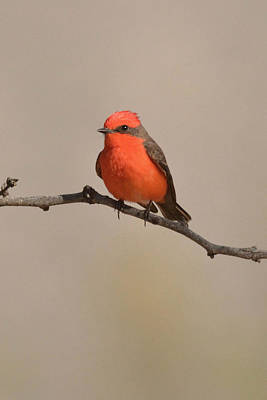 Photograph - Vermilion Flycatcher by Alan Lenk