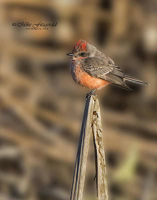 Photograph - Vermilion On A Stick by Mike Fitzgerald