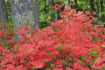Photograph - Vermillion Azalea At Moore State Park by Michael Saunders