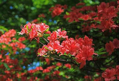 Photograph - Vermillion Azalea Close Up At Moore State Park by Michael Saunders