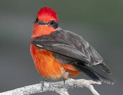 Photograph - Vermillion Flycatcher by Gregory Scott