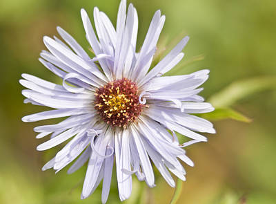 Photograph - Vermont Aster by Kathryn Whitaker