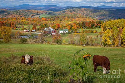 Photograph - Vermont Cowscape by Susan Cole Kelly