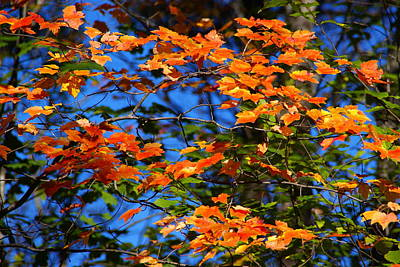 Photograph - Vermont Maple Leaves 2 by Robert Lozen