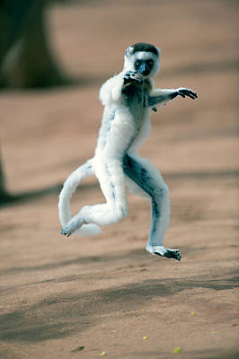 Madagascar Photograph - Verreauxs Sifaka Propithecus Verreauxi by Panoramic Images