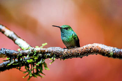 Amazilia Photograph - Versicolored Emerald Amazilia Versicolor by Leonarco Mer�on