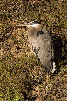 Photograph - Vertical Heron Basking In The Morning Sun by Jean Noren