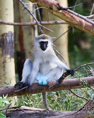 Photograph - Vervet Monkey Display by Chris Scroggins