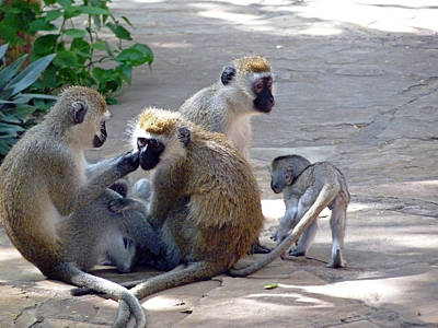 Photograph - Vervet Monkey Family Group by Tony Murtagh
