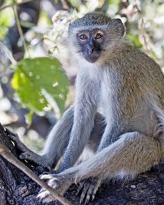 Photograph - Vervet Monkey by Gigi Ebert