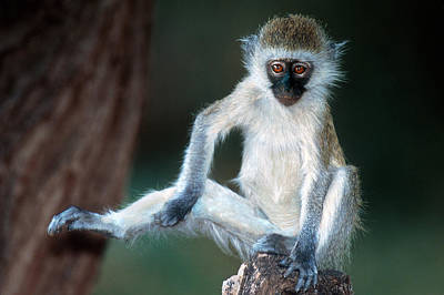 Red Monkey Photograph - Vervet Monkey Kenya Africa by Panoramic Images