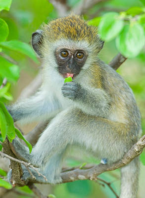 Vervet Monkey Sitting On A Branch Art Print