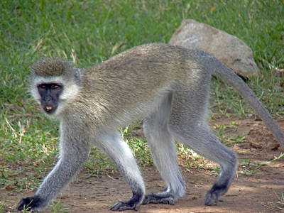 Photograph - Vervet Monkey by Tony Murtagh