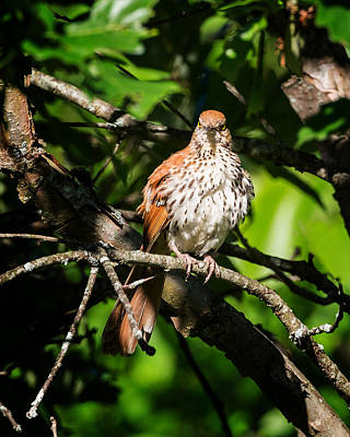 Angry Birds Photograph - Very Angy Bird by Bill Wakeley