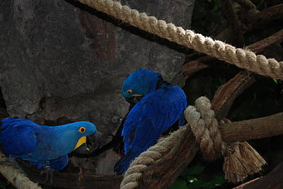 Grimm Fairy Tales Royalty Free Images - Very Blue Birds Royalty-Free Image by Joseph Desiderio