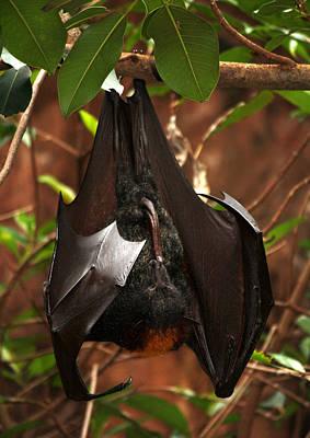 Photograph - Very Fruity Bat by David Nicholls