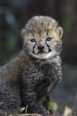 Photograph - Very Young Cheetah Cub Maasai Mara by Suzi Eszterhas