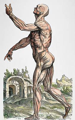 Photograph - Vesalius: Muscles 02, 1543 by Granger