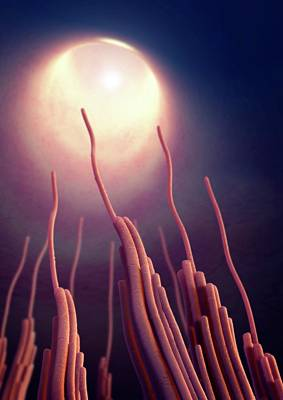 Physiology Photograph - Vestibular Stereocilia by Tim Vernon